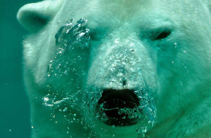 berserk bear